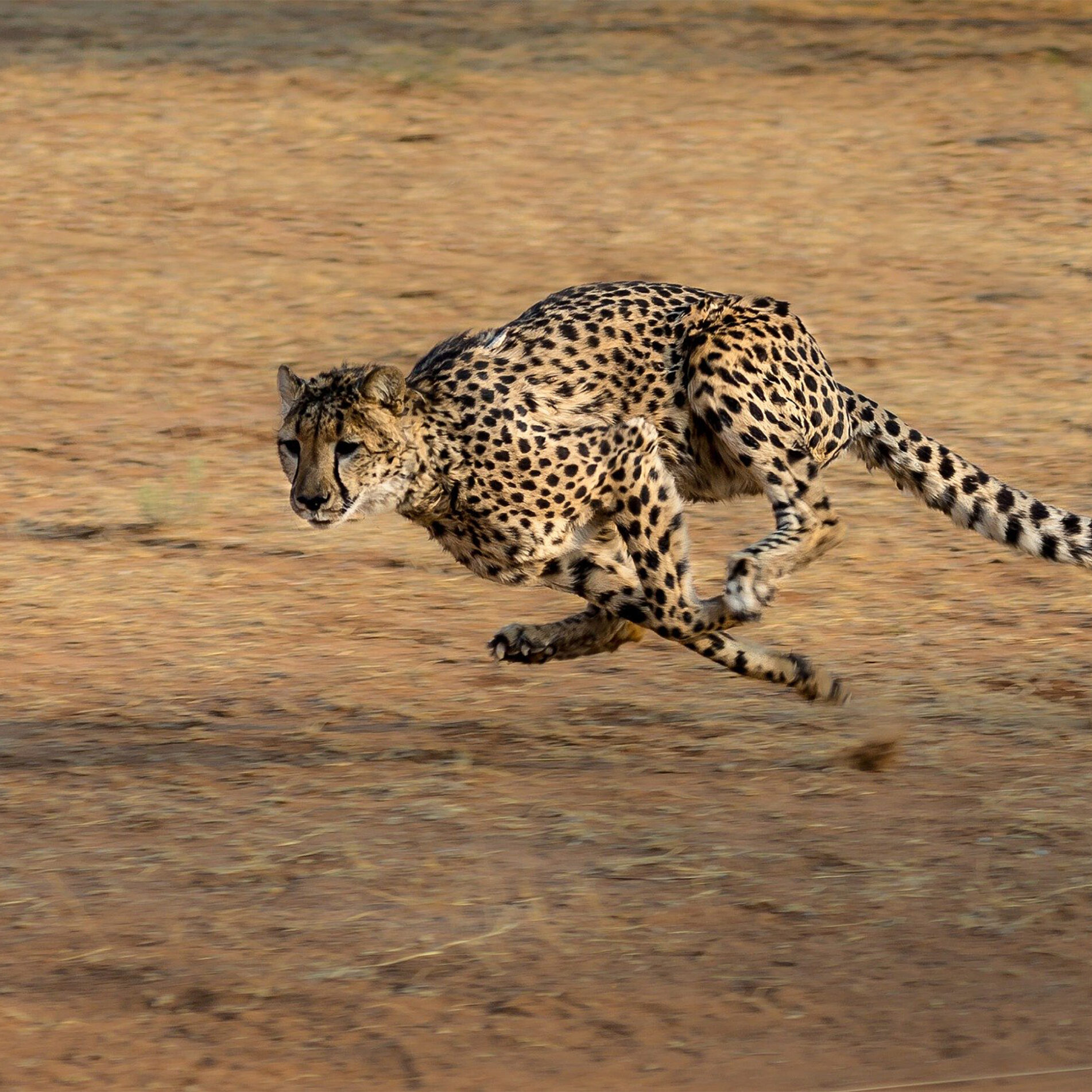 cheetah-2859581_1920_ext